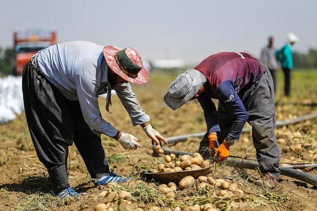 برداشت سیب زمینی و سیر در مزارع همدان