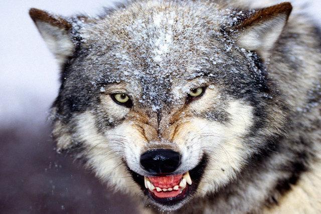 حمله گرگها