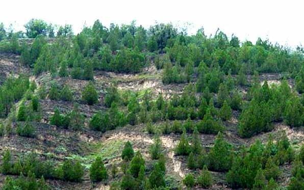 جنگل کاری چپقلی اراک