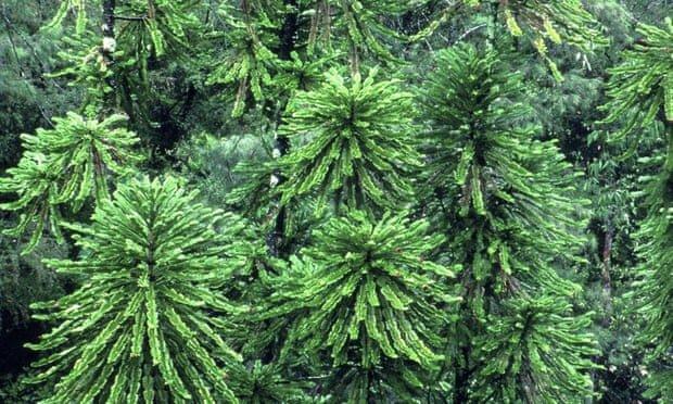 گونه گیاهی جنگل استرالیا