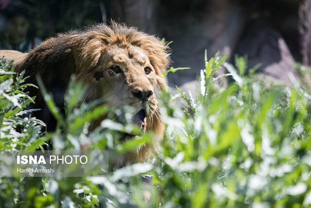 ورود شیر آسیایی به باغ وحش ارم