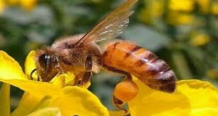 کلزا - زنبور عسل