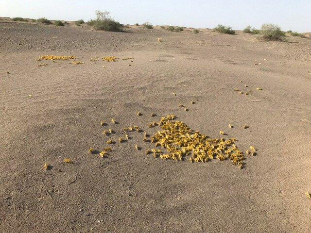 ملخ صحرایی