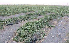 خسارت کشاورزی