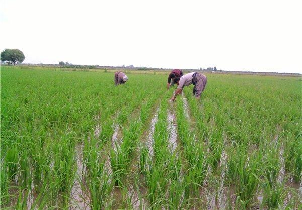 برنج کاری
