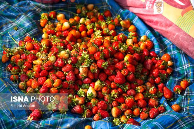 برداشت توت فرنگی - کردستان