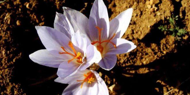 زعفران آذربایجان غربی سفید است