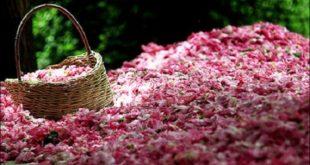 گلاب گیری به روش کهن