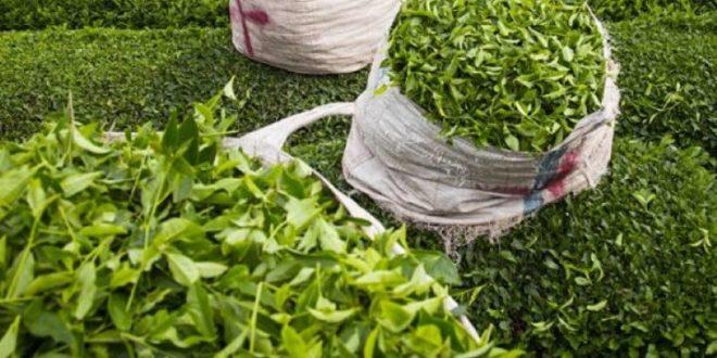 برگ سبز چای
