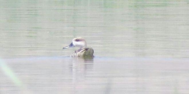 نخستین بار مشاهده یک گونه پرنده در تالاب گندمان