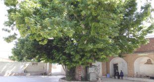 درخت چنار معز آباد شهرستان کهنوج ثبت ملی شد
