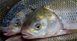 تولید ماهی