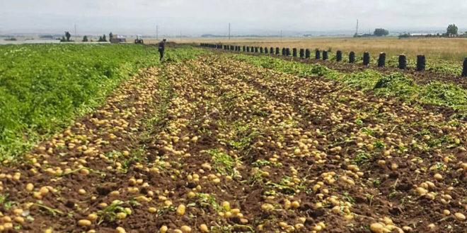 برداشت سیب زمینی