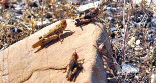 Desert Grasshopper