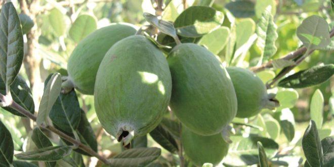 میوه فی جوا