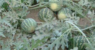 هندوانه های ابوجهل