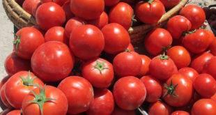 برداشت گوجه فرنگی