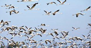 آنفلوآنزای پرندگان