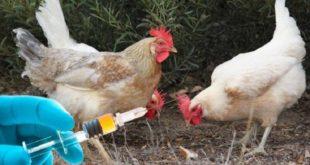 واکسیناسیون رایگان طیور خانگی سبزوار علیه ویروس نیوکاسل