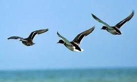 جمعیت پرندگان مهاجر لاهیجان