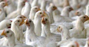 مرغ زنده