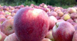 سیب در سردخانهها