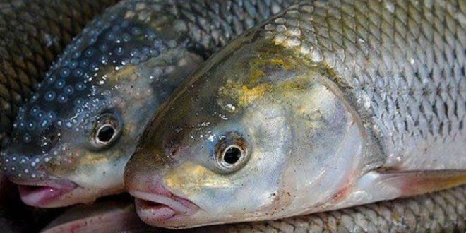 مصرف ماهیان خوراکی
