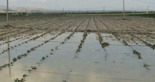 سیل امید کشاورزان مُهری را با خود برد