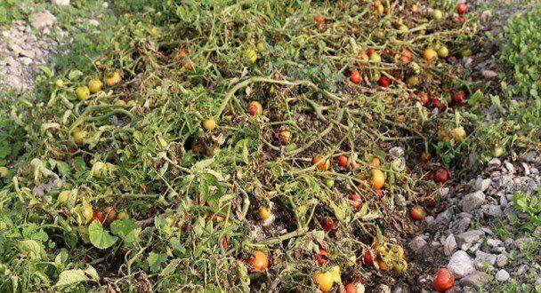 خسارت سرما به کشاورزی